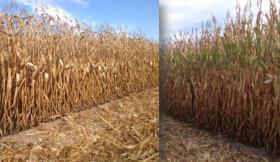Portugal continuará a cultivar OGM